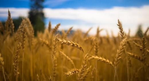 College Planning - Field of Golden Wheat